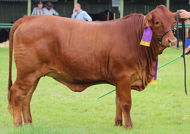 fairibel champion heifer