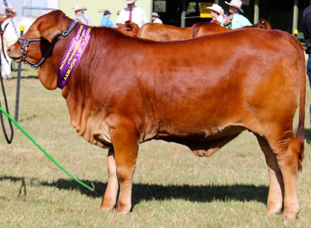 Henrietta - Junior Champion Tropical breed Heifer
